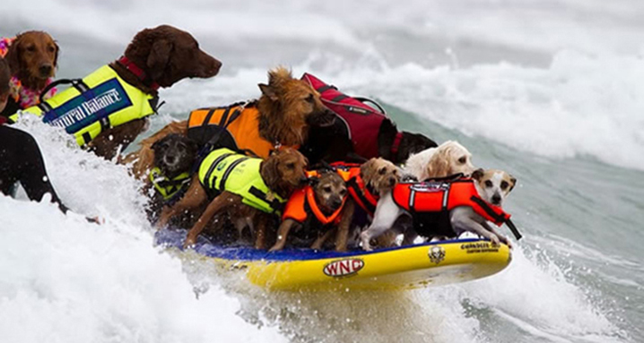 Surf-City-Surf-Dog-surfer-surfing-16