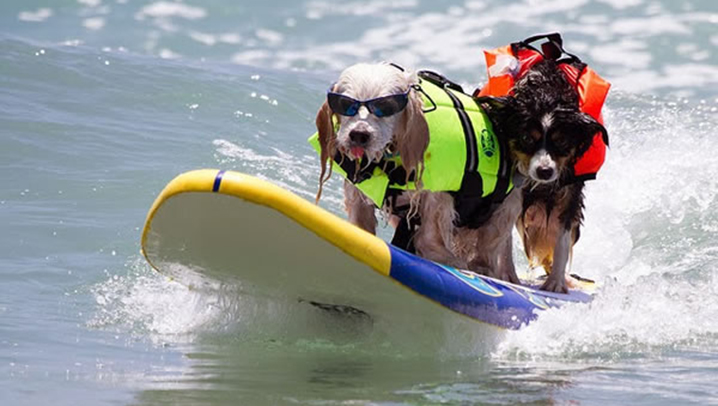 Surf-City-Surf-Dog-surfer-surfing-19