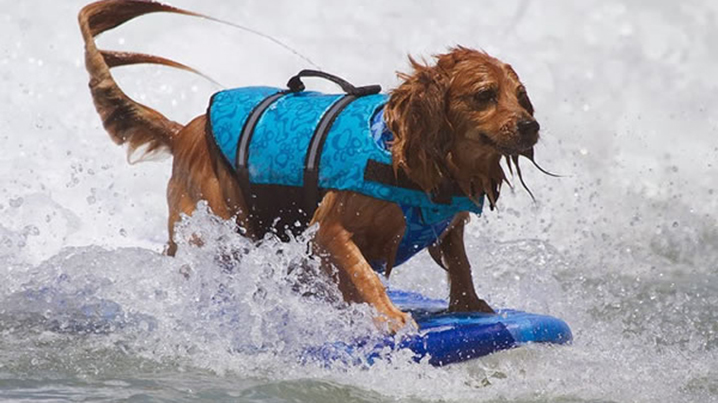 Surf-City-Surf-Dog-surfer-surfing-2